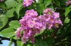 Banaba (Lagerstromia speciosa)